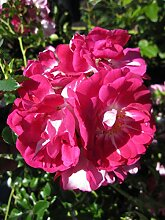 Baumschule Pflanzenvielfalt Rosa Lipstick® -