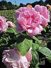 Baumschule Pflanzenvielfalt Rosa Mary Rose® -