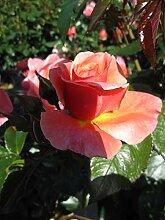 Baumschule Pflanzenvielfalt Rosa Melusina® -