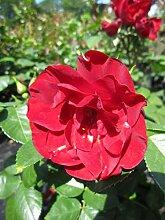 Baumschule Pflanzenvielfalt Rosa Paprika® -
