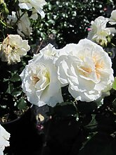 Baumschule Pflanzenvielfalt Rosa Petticoat® -