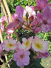Baumschule Pflanzenvielfalt Rosa Plaisanterie -