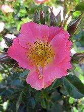 Baumschule Pflanzenvielfalt Rosa Pretty Girl® -