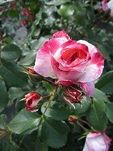 Baumschule Pflanzenvielfalt Rosa Rosenstadt