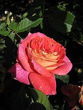 Baumschule Pflanzenvielfalt Rosa Sommersonne® -