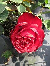 Baumschule Pflanzenvielfalt Rosa Sophia Loren® -
