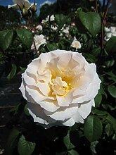 Baumschule Pflanzenvielfalt Rosa Sweet Blondie® -