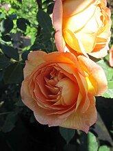 Baumschule Pflanzenvielfalt Rosa Tea Clipper® -