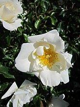 Baumschule Pflanzenvielfalt Rosa White Haze® -