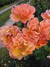 Baumschule Pflanzenvielfalt Strauchrose Arabia® -