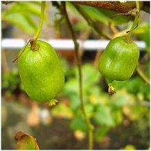 Bayern-Kiwi, je männliche und weibliche Pflanze,