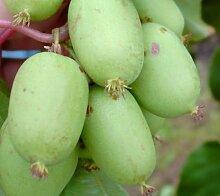 Bayern-Kiwi-Set: männliche und weibliche Pflanze,