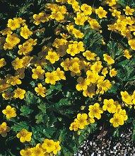 BCM Beetpflanze Bodendecker Dreiblatt Golderdbeere