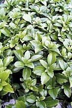 BCM Beetpflanze Bodendecker Schattengrün 12 St.