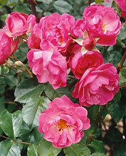 BCM Beetpflanze Bodendeckerrose Pink Harmony 6 St.