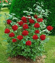 BCM Beetpflanze Edelrose Ingrid Bergmann 1 St. rot