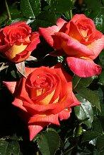 BCM Beetpflanze Rose Parfum De Grasse, Höhe 30