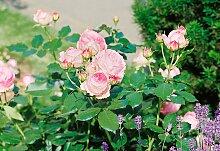 BCM Beetpflanze Strauchrose Eden Rose 1 St. rosa