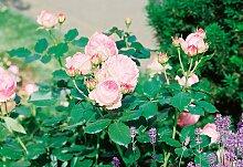 BCM Beetpflanze Strauchrose Eden Rose 3 St. rosa