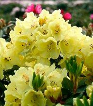 BCM Gehölze Rhododendron Goldbukett, Höhe: 50