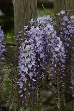 BCM Kletterpflanze Blauregen 'Polific',