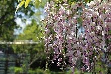 BCM Kletterpflanze Blauregen 'Rosea',