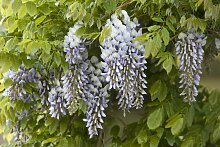 BCM Kletterpflanze Blauregen floribunda,