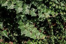 BCM Kletterpflanze Efeu colchica, Lieferhöhe ca.