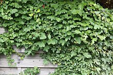 BCM Kletterpflanze Efeu helix, Lieferhöhe ca. 60