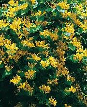 BCM Kletterpflanze Geisblatt tellmanniana,
