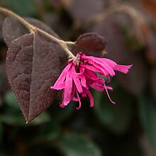 BCM Kletterpflanze Riemenblüte 'Blush',