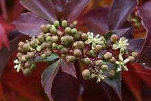 BCM Kletterpflanze Wilder Wein quinquefolia,