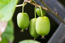 BCM Obstpflanze Kiwi arguta 'Issai'
