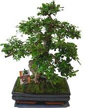 BCM Zimmerpflanze Bonsai 1 St. grün