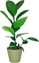 BCM Zimmerpflanze Gummibaum 1 St. grün