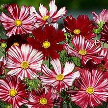 Beautytalk-Garten- 100 Stück Chrysanthemum -