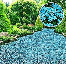 Beautytalk-Garten 30pcs Thymian Samen Blau Sterne