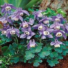 Beautytalk-Garten 50 Selten Akelei Mischung Blumen