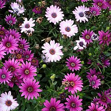 Beautytalk-Garten 50pcs Chrysantheme Samen