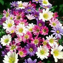 Beautytalk-Garten 50pcs Gefüllte Chrysanthemen