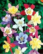 Beautytalk-Garten Columbine Samen Blumensamen