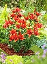 Beautytalk-Garten Lilium Mischung Samen Lilie