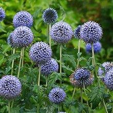 Beautytalk-Garten Riesen Kugeldistel Blau Echinops