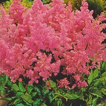 Beautytalk-Garten Selten Astilbe Chinensis Samen