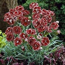 Beautytalk-Garten Selten Nelke Dianthus Blume