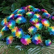 Beautytalk-Garten seltene Regenbogen Chrysantheme