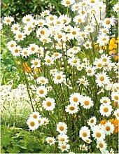 Beautytalk-Garten Weiße Chrysantheme Samen