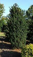 Becher Eibe Taxus media Hicksii 50-60 cm hoch mit