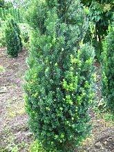 Becher Eibe Taxus media Hicksii 60-70 cm hoch mit
