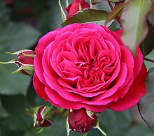 Beetrose`Rouge Meilove®´